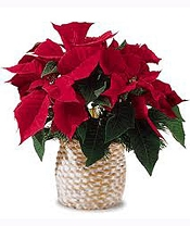 Red Poinsettia (Small)