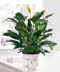 Comfort Planter (Peace Lily)