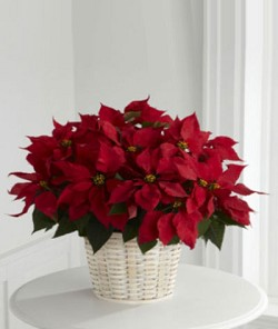 Red Poinsettia (Large)